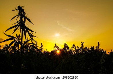 A hemp field silhouetted at sunset