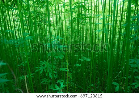 Hemp field in summer.