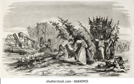Hemp harvesting on Rhine bank. Created by Lallemand, published on L'Illustration, Journal Universel, Paris, 1860