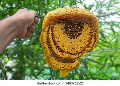 Hemp leaves and honeycomb used to treat diseases.