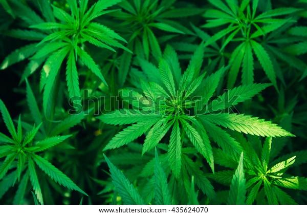 Особы вид дикой конопли как долга марихуана держится в моче