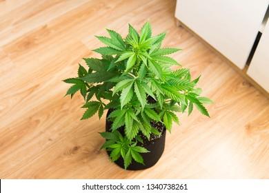 Hemp Marijuana flower Indoor growing. Home Cannabis grow operation. Grow legal Recreational Marijuana. Planting cannabis.