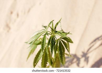 HEMP on blurred background. Natural Cannabis Wallpaper