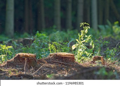 hemp on felling among the forest. hemp trees on the background of forest felling