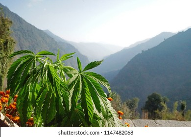 Hemp plant with mountain view and blue sky