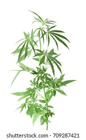 Hemp plant on white background