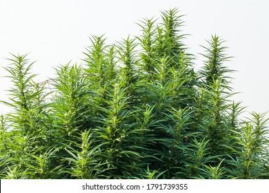 Plante de chanvre au soleil