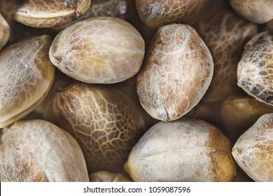 Hemp seeds background in macro. Top view