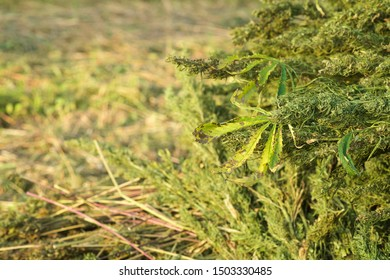 The hemp stalks are stacked after harvest. industrial hemp cultivation concept.