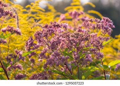 Hemp-agrimony and Goldenrods flowers in the morning light