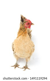 Hen Bantam chicken or Ayam kate is any small variety of fowl, especially chickens