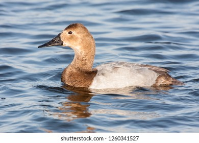 A hen Canvasback swimming on the Choptank River, Maryland