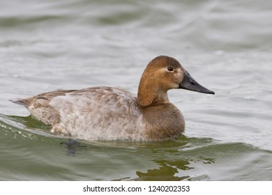A hen Canvasback swimming on water