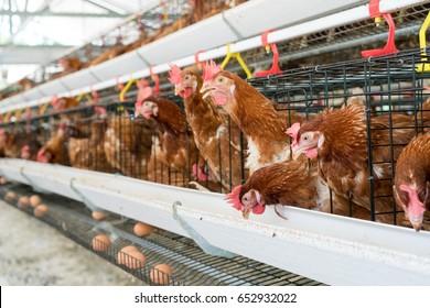 Hühner, Hühnereier und Hühner, die im Bauernhof Essen essen.