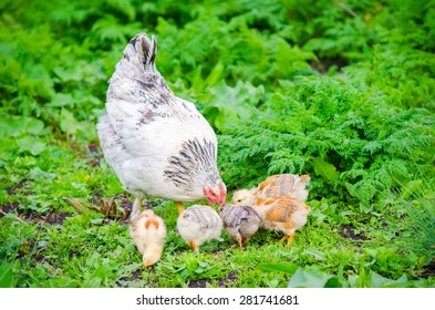 Hen with chicks pecking in the green grass on a sunny day with vibrant colors and a natural healthy home grown look