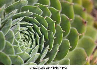 hen and chicks (sedum) closeup
