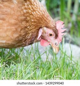 Hen eating grass on a farmyard