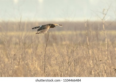 Hen harrier (Circus cyaneus) or northern harrier bird of prey hunting above a meadow during a cold winter