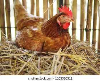 La poule hachait l'oeuf dans le poulailler/hachait l'oeuf