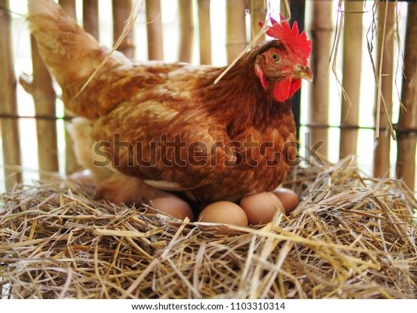 The hen is hatching the egg in the coop/hatching the egg