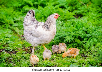 Hen with her small chicks pecking in a garden with fresh green grass suggesting organic home grown poultry