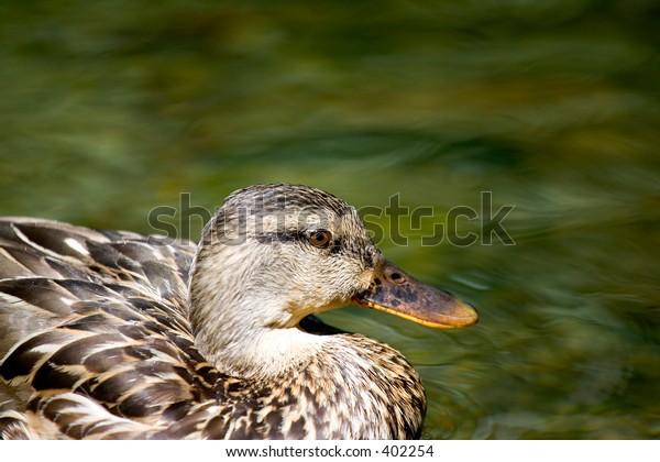 Hen mallard in a pond
