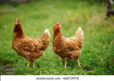 hen on the green grass