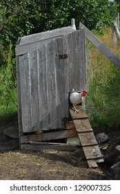 Hen in poultry yard, coming out of a shed.