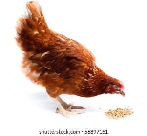 Hen  stand in studio against a white background.