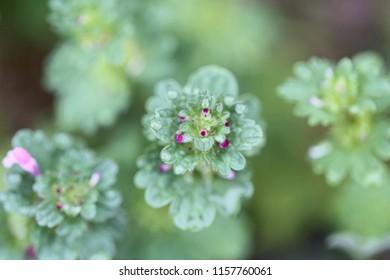 Henbit, weed or wildflower