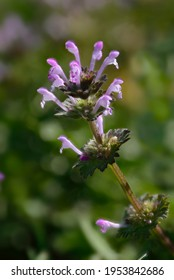 Henbit Wildflowers (Lamium amplexicaule) also known as Henbit Deadnettle, a common broadleaf lawn weed in the spring.