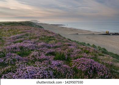 Hengistbury Head Sea Pink Flowers