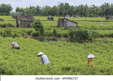 HengXian, China - August 10, 2017: People picking Jasmine Flowers in a Jasmine Plantation in HengXian, the Chinese capital of Jasmine