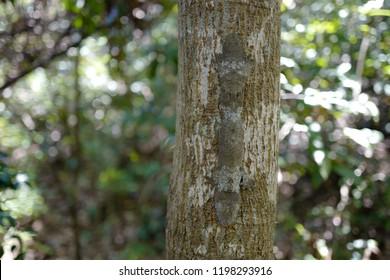 Henkel's leaf-tailed gecko, Henkel's flat-tailed gecko or the frilled leaf-tail gecko  (Uroplatus henkeli )