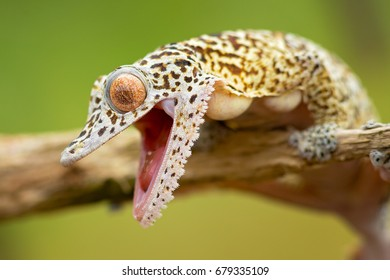 Henkel's leaf-tailed gecko (Uroplatus henkeli ), also known as Henkel's flat-tailed gecko or the frilled leaf-tail gecko, is a species of gecko endemic to Madagascar.