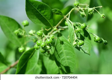 Henna (Lawsonia inermis) ; An outstanding colorful bunch. Dark green small round seeds, clinging on stalk at end of peak, hanging in the air. Background with green leaves. zoom out, natural sunlight