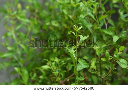 Henna Leaves Lawsonia Inermis Natural Soft Stock Photo Edit Now