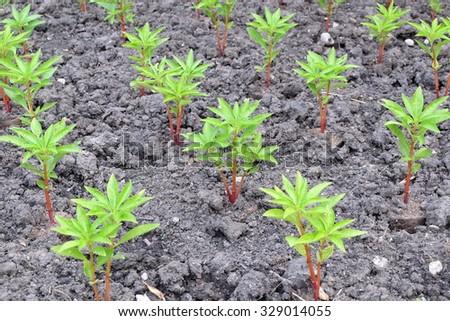 Henna Tree Young Plants Plant Nursery Stock Photo Edit Now