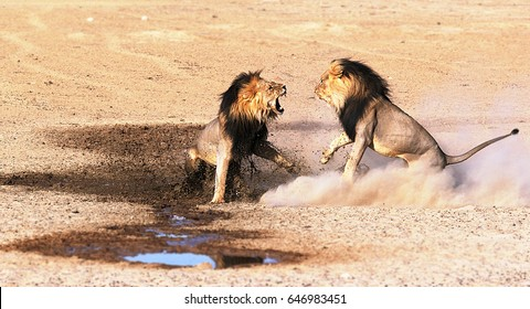 Hennie Briedenhann in Kgalagadi March 2013. Two male lions fighting over mating rights.
