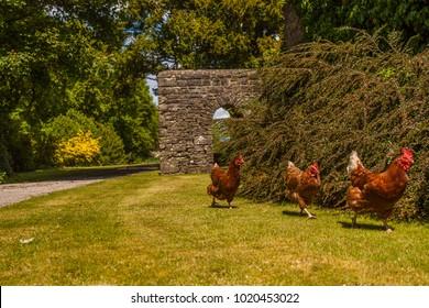 Hens and Chickens running in garden