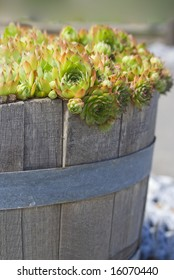 Hens and chicks (Echeveria agavoides) spill out of an old, weathered bucket.