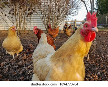 Hens up close in a traditional rural barnyard. Detail of a hen head. Close up of chicken standing on barn yard with chicken coop. Chickens sitting in outdoor henhouse. Free range poultry farming conce