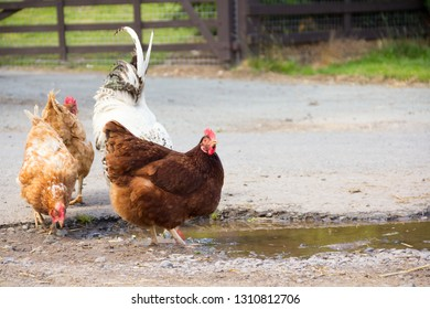 Hens and cockerel drinking from puddle in shropshire countryside as they wander free range.