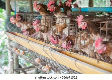 hens and eggs