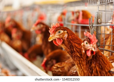hens at the farm in the cage