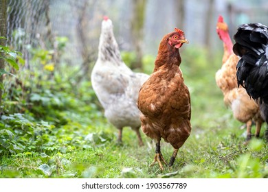 Hens feeding on traditional rural barnyard. Close up of chicken on barn yard. Free range poultry farming concept.