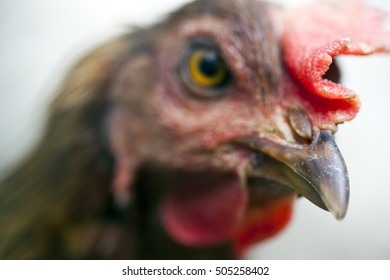 Hens in a free range farm. Close-up.