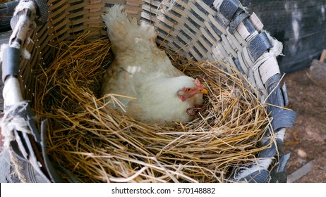 Hens are incubating eggs in the nest; There are hay