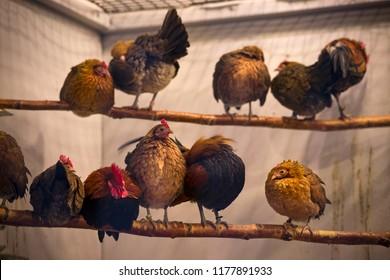 Hens on a row