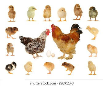 hens on a white background